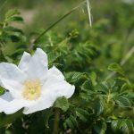 Sandy Flower