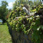 Ivy at Fort Sewall